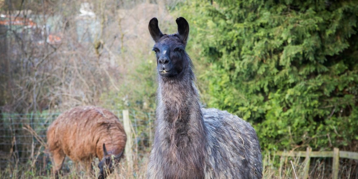 Surrey Live: Baby Llama Gallery
