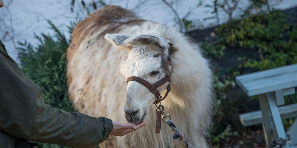 Surrey Live: Llama Trekking Gallery
